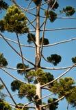 Árbol nativo australiano del pino de Bunya Foto de archivo libre de regalías