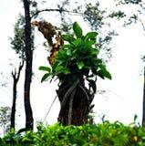 Árbol natural de los bonsais en árbol muerto fotografía de archivo libre de regalías