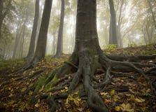 Árbol negro con las raíces grandes en fores de oro fotos de archivo