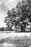 Árbol negro y blanco en campo Fotografía de archivo