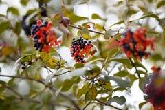 Árbol negro y rojo de la baya Fotos de archivo