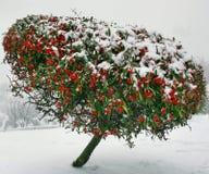 Árbol Nevado Imagen de archivo libre de regalías