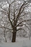 Árbol nevado viejo grande fotos de archivo