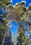 árbol nevoso Imagen de archivo libre de regalías