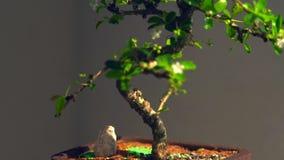 Árbol nudoso de los bonsais con las flores blancas en un pote almacen de metraje de vídeo