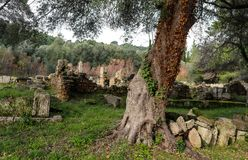 Árbol nudoso envuelto con la hiedra en medio de las ruinas de paredes y de edificios en Olympia Greece antigua imagen de archivo libre de regalías