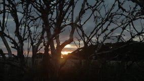 Árbol nudoso viejo silueteado contra puesta del sol en un campo de trigo en Frisia del este Ostfriesland, Alemania Dolly Shot/tir almacen de metraje de vídeo