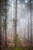 Árbol o pino Tenerife, bosque canario Fotografía de archivo