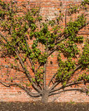 Árbol orgánico de la ciruela claudia Foto de archivo