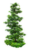 Árbol ornamental Fotografía de archivo