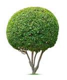 Árbol ornamental Imágenes de archivo libres de regalías