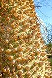 Árbol ornamental del chodatii del ceiba en parque en Málaga foto de archivo libre de regalías