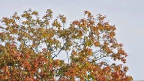 árbol otoñal en un día ventoso almacen de metraje de vídeo