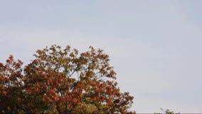 árbol otoñal en un día ventoso metrajes