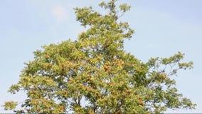 árbol otoñal en un día ventoso almacen de video