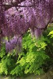 Árbol púrpura de la glicinia Imágenes de archivo libres de regalías