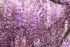 Árbol púrpura de la glicinia foto de archivo