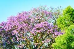 Árbol púrpura del Jacaranda Fotografía de archivo libre de regalías