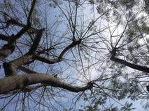 Árbol peruano Foto de archivo libre de regalías