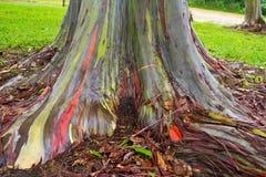 Árbol pintado de la goma/de eucalipto imagenes de archivo