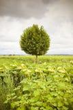 Árbol plano aislado en girasoles Foto de archivo