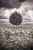 Árbol plano aislado en un campo de los girasoles Imagen de archivo