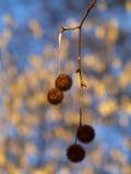 Árbol plano de la bola de la semilla fotos de archivo