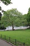 Árbol plano de Londres en Central Park Imagen de archivo libre de regalías