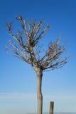Árbol podado Fotos de archivo libres de regalías
