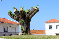 Árbol podado Imágenes de archivo libres de regalías
