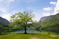 Árbol por el lago Fotos de archivo libres de regalías