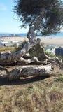 Árbol por el mar Foto de archivo libre de regalías