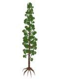 Árbol prehistórico del pino de los nobilis de Wollemia - 3D rinden ilustración del vector