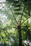 Árbol primitivo arborescente del helecho de árbol del jurásico en el bosque tropical Venezuela imágenes de archivo libres de regalías