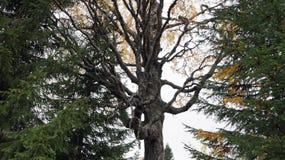 Árbol que amarillea Fotografía de archivo libre de regalías