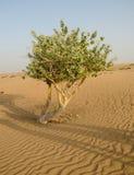 Árbol que crece en desierto Imagen de archivo