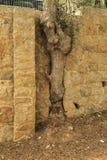 Árbol que crece en la pared de piedra Foto de archivo