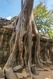 Árbol que crece en templo del som de TA Fotos de archivo libres de regalías