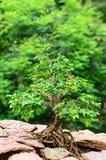 Árbol que crece en una roca Foto de archivo