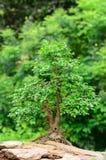 Árbol que crece en una roca Imágenes de archivo libres de regalías