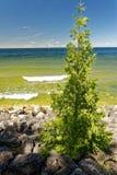 Árbol que crece fuera de rocas a lo largo de la línea de la playa del lago Michigan en una tarde soleada del verano fotografía de archivo