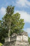 Árbol que crece fuera de un templo del maya Foto de archivo libre de regalías