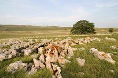 Árbol que crece fuera del pavimento de piedra caliza fotografía de archivo