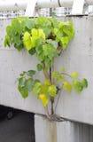 Árbol que crece a través de la estructura concreta Fotografía de archivo libre de regalías