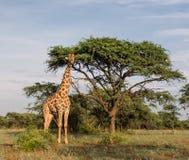Árbol que hace una pausa de la jirafa Imagenes de archivo