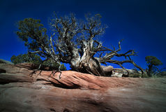 Árbol que se aferra en la repisa rocosa Foto de archivo libre de regalías