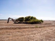 Árbol que se inclina, camaldunlensis del eucalipto, Geraldton Greenough, Australia occidental Fotos de archivo
