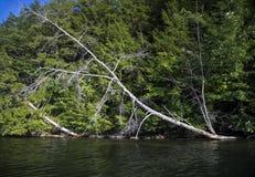 Árbol que se inclina en el agua del lago Foto de archivo libre de regalías
