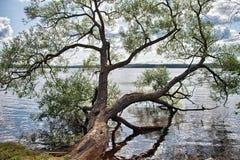 Árbol que se inclina sobre el lago Malaren, Suecia Imagen de archivo libre de regalías