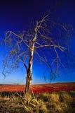 Árbol que se marchita Fotografía de archivo libre de regalías